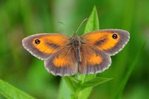 12 juli: Vlinderwandeling in de Heidemeersen